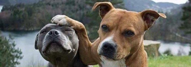 Formation pour Attestation d'aptitude pour permis chiens catégorisés